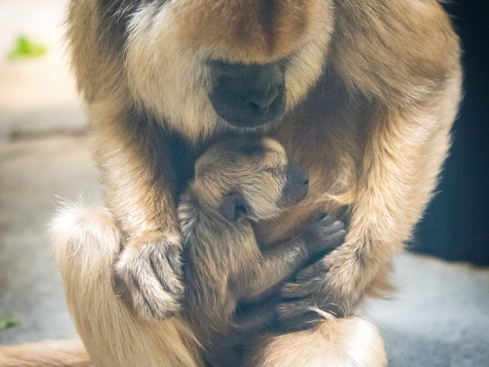 This baby howler monkey was born Jan. 16 and can be seen at the Cleveland Metroparks Zoo.