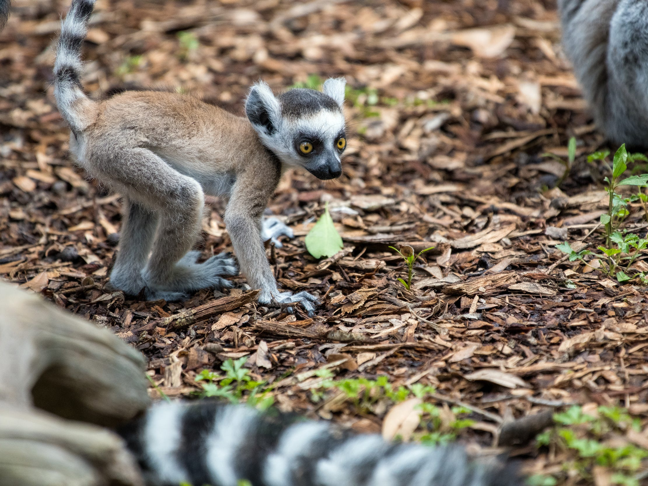 The ring-tailed lemur baby can be seen playing and exploring at the Houston Zoo.