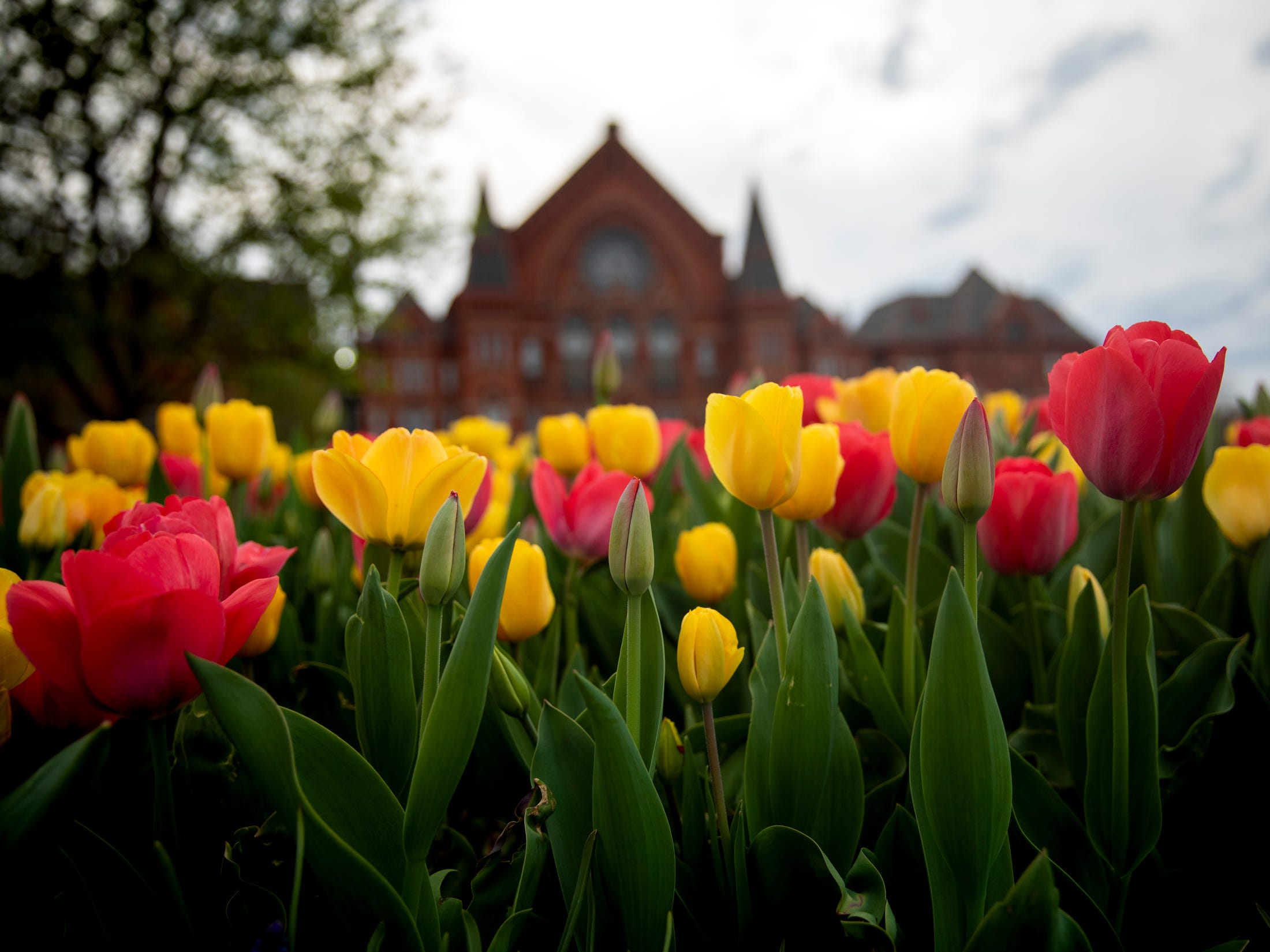 Tulips bloom in Washington Park in Over-the-Rhine Thursday, April 11, 2019.
