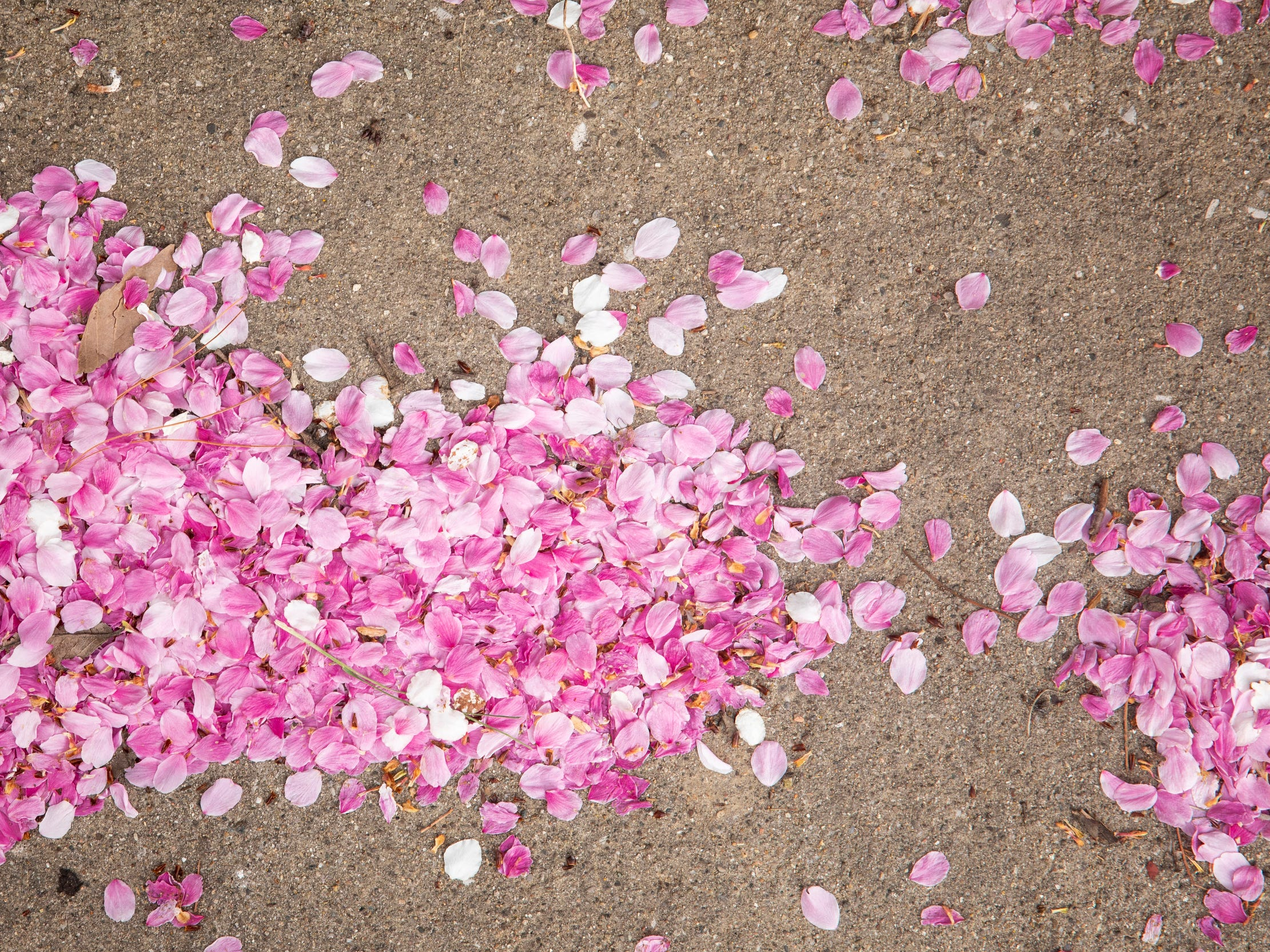 Cherry blossom petals gather on Spring Street in Pendleton Thursday, April 11, 2019.