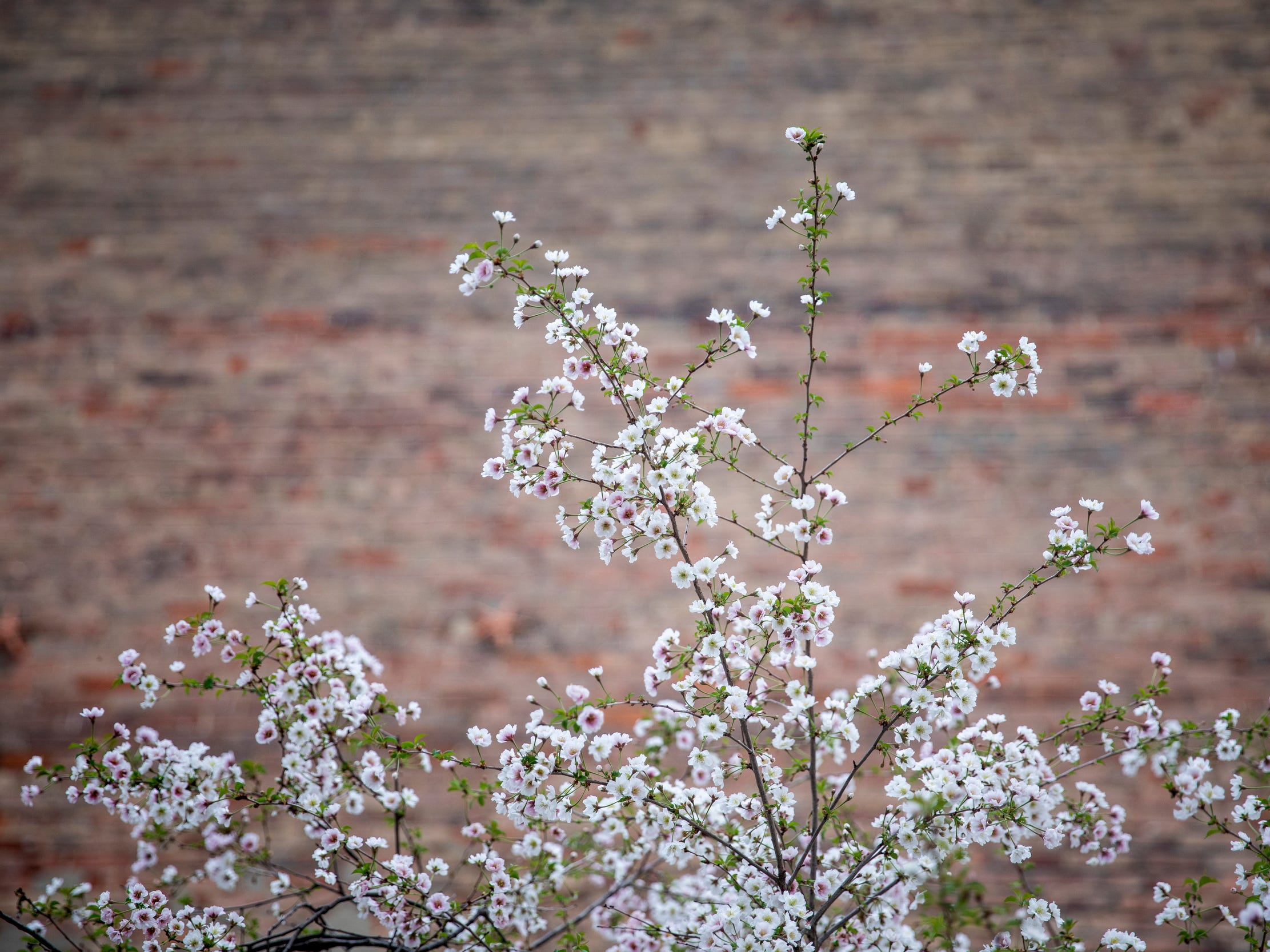 A cherry tree blooms on 14th Street in Over-the-Rhine Thursday, April 11, 2019.