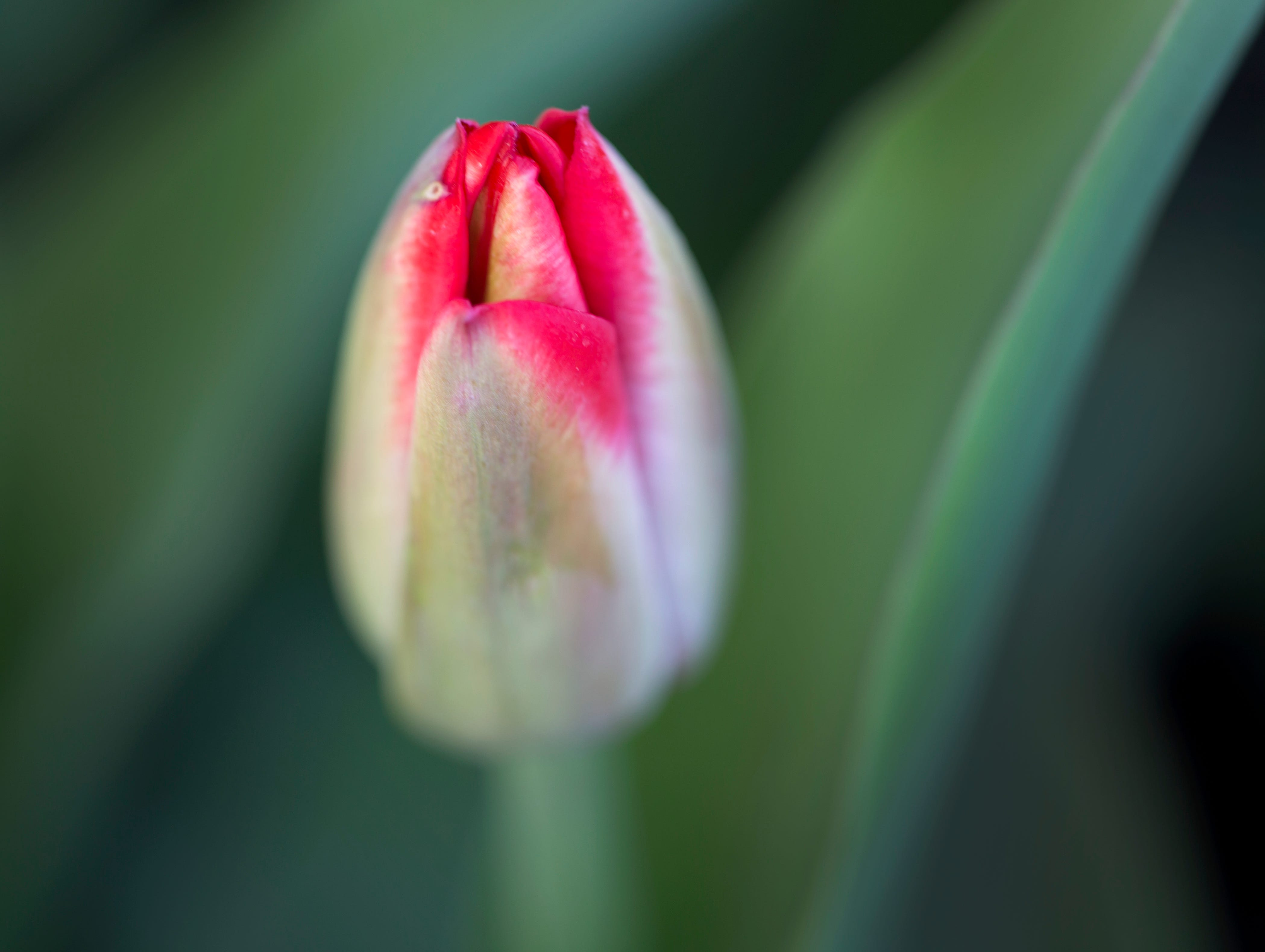 A tulip is on the verge of blooming at Cooper Creek in Blue Ash, Wednesday, April 10, 2019. The tulip is a spring-blooming perennial and generally can be found in red, pink, yellow and white.