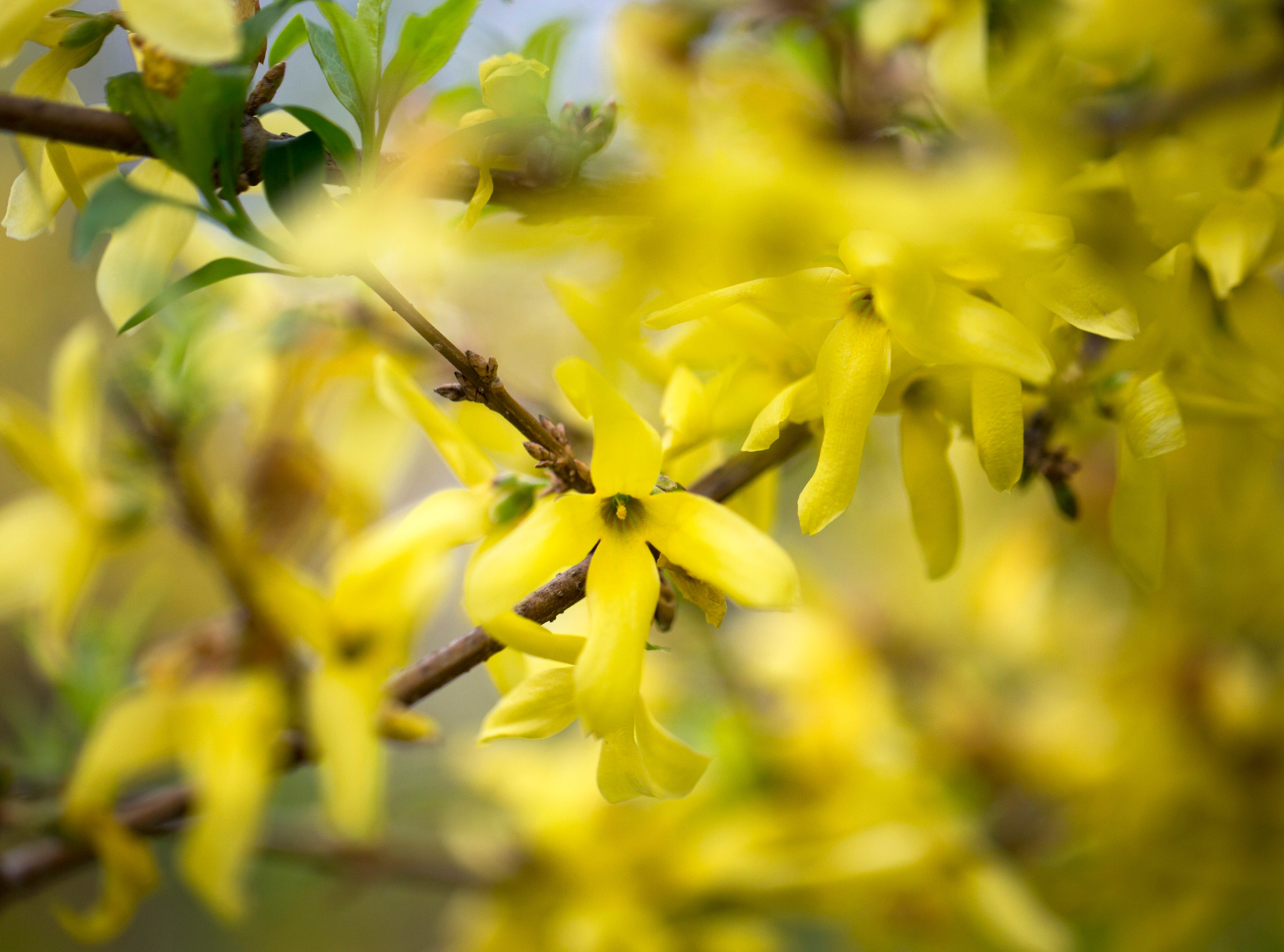 Bright yellow flowers from a Forsythia in Blue Ash, Friday, April 12, 2019. The tree was discovered by William Forsyth, who was a member of the Royal Horticultural Society. The branches are often called Easter tree.