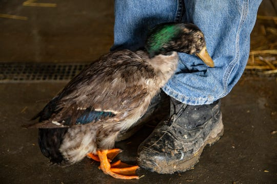"""Though Matthew Lyson was reluctant to call any one duck his favorite he certainly has a soft spot for Huey who they rescued from Fresno California. """"If he is bites he is healthy,"""" said Lyson of the blind duck. Lyson and his wife Theresa run the Michigan Duck Rescue out of their Northville home. They always get concerned this time of year near Easter about how many chicks are given to children at the holiday. We visit their sanctuary Thursday, April 11, 2019."""
