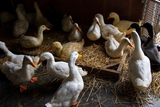 Matthew Lyson and his wife Theresa run the Michigan Duck Rescue out of their Northville home. They always get concerned this time of year near Easter about how many chicks are given to children at the holiday. We visit their sanctuary Thursday, April 11, 2019.