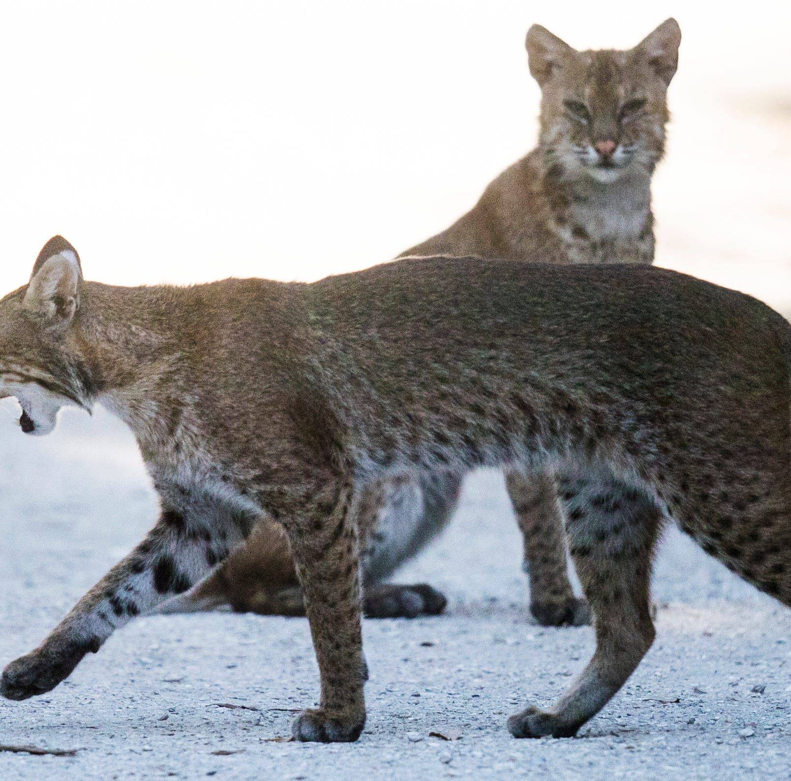 Two bobcats seen wandering around Sanibel Lighthouse beach area, likely hunting rabbits
