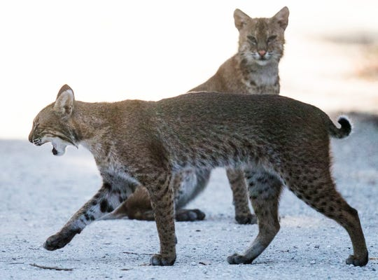 A pair of bobcats roam Sanibel Island on Thursday April, 11, 2019. The pair has been seen over the last weeks.