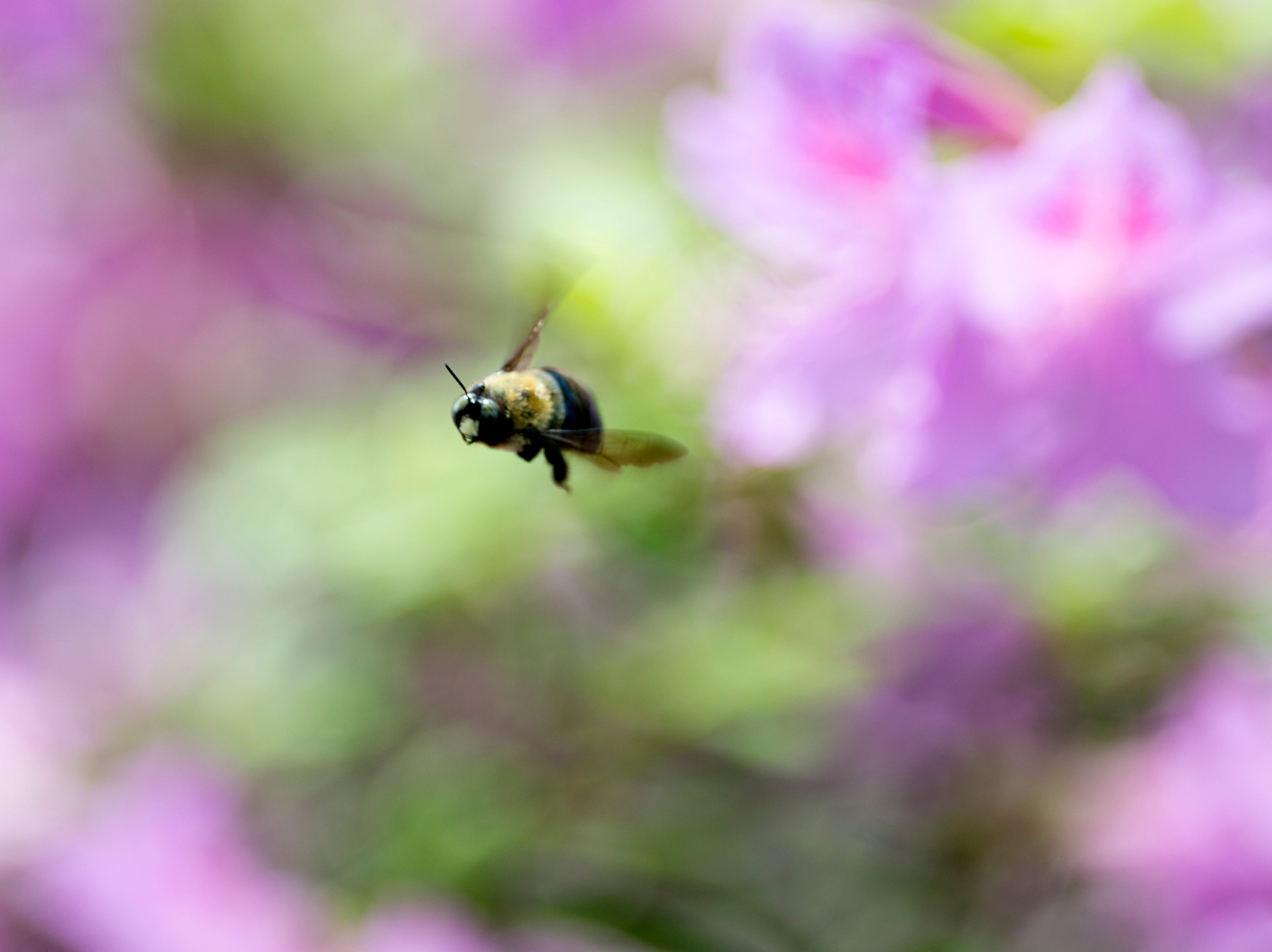 A bee buzzes through a flowering James Agee Park in Knoxville, Tennessee on Thursday, April 11, 2019.