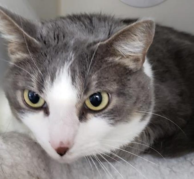 Looking for a part-time couch companion? Bella's your girl! She is 4½ years old, affectionate, gray and white shorthair, an indoor-only cat who has not been around other animals. As do all new pets, she will need some time to adjust to her new environment.  She has been combo tested (Neg), spayed, microchipped and is up to date on vaccinations. Info: monroecountyfriendsofanimals.org or 423-442-1015.