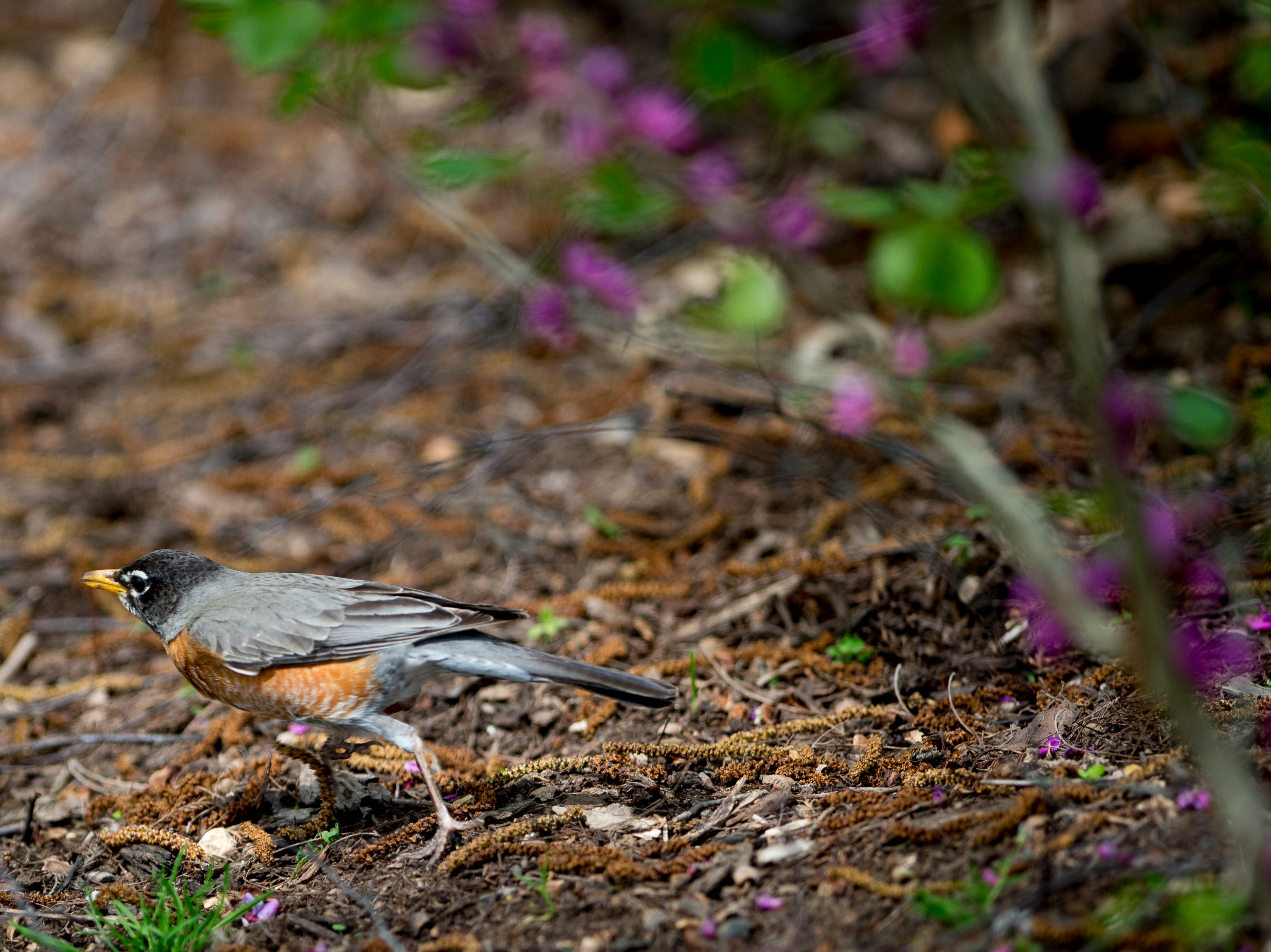A robin paces through the UT Botanical Gardens in Knoxville, Tennessee on Thursday, April 11, 2019.