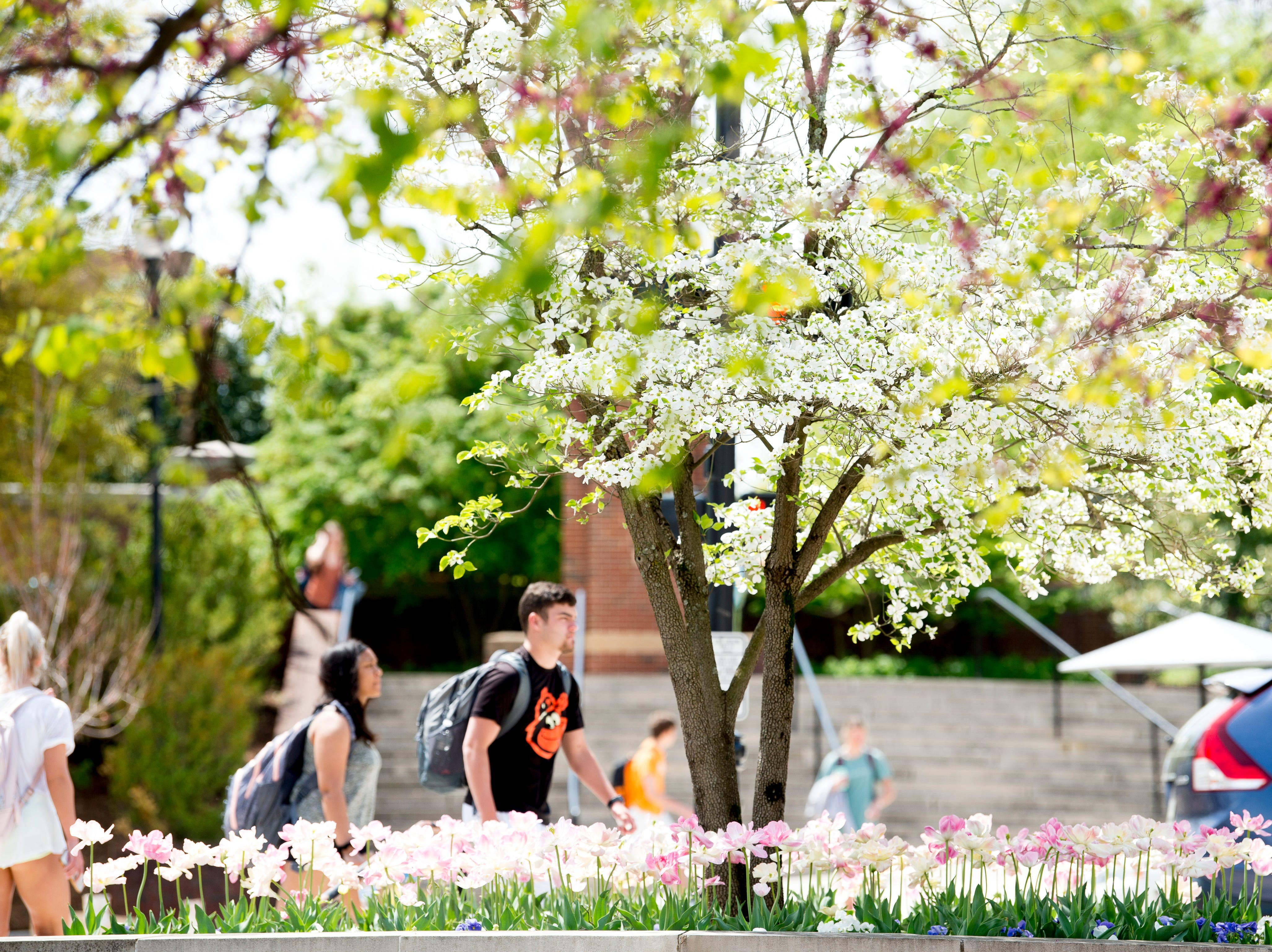 Trees and flowers bloom on the UT campus in Knoxville, Tennessee on Thursday, April 11, 2019.