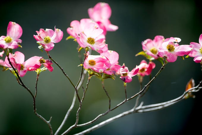 A tree blooms at the UT Botanical Gardens in Knoxville, Tennessee on Thursday, April 11, 2019.