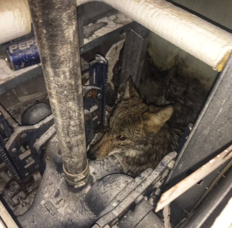 Coyote rescued after getting stuck in walls at Memphis Convention Center