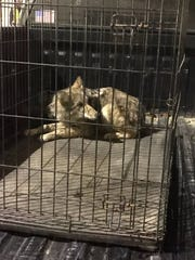 An officer with the Tennessee Wildlife Resources Agency removed this coyote from the walls of the Cook Convention Center.
