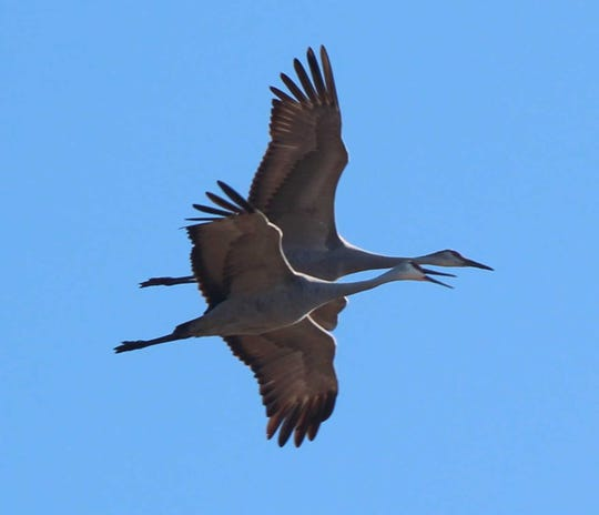 Sandhill cranes fly at Limberlost State Historic Site.