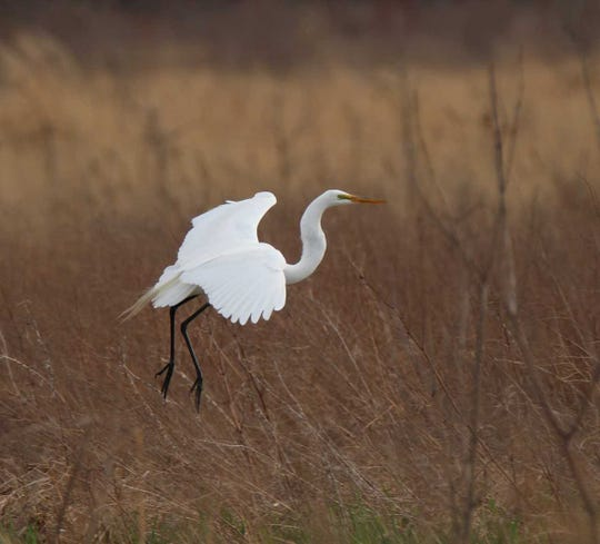 A great egret at Limberlost State Historic Site.