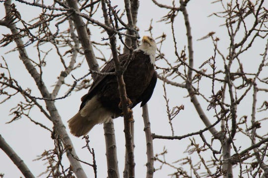 A bald eagle perches in a tree at Limberlost State Historic Site.