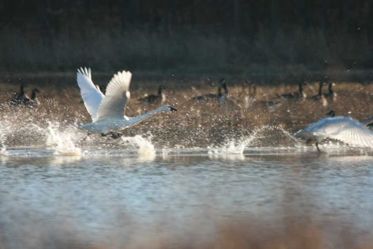 Tundra swans at Limberlost State Historic Site.