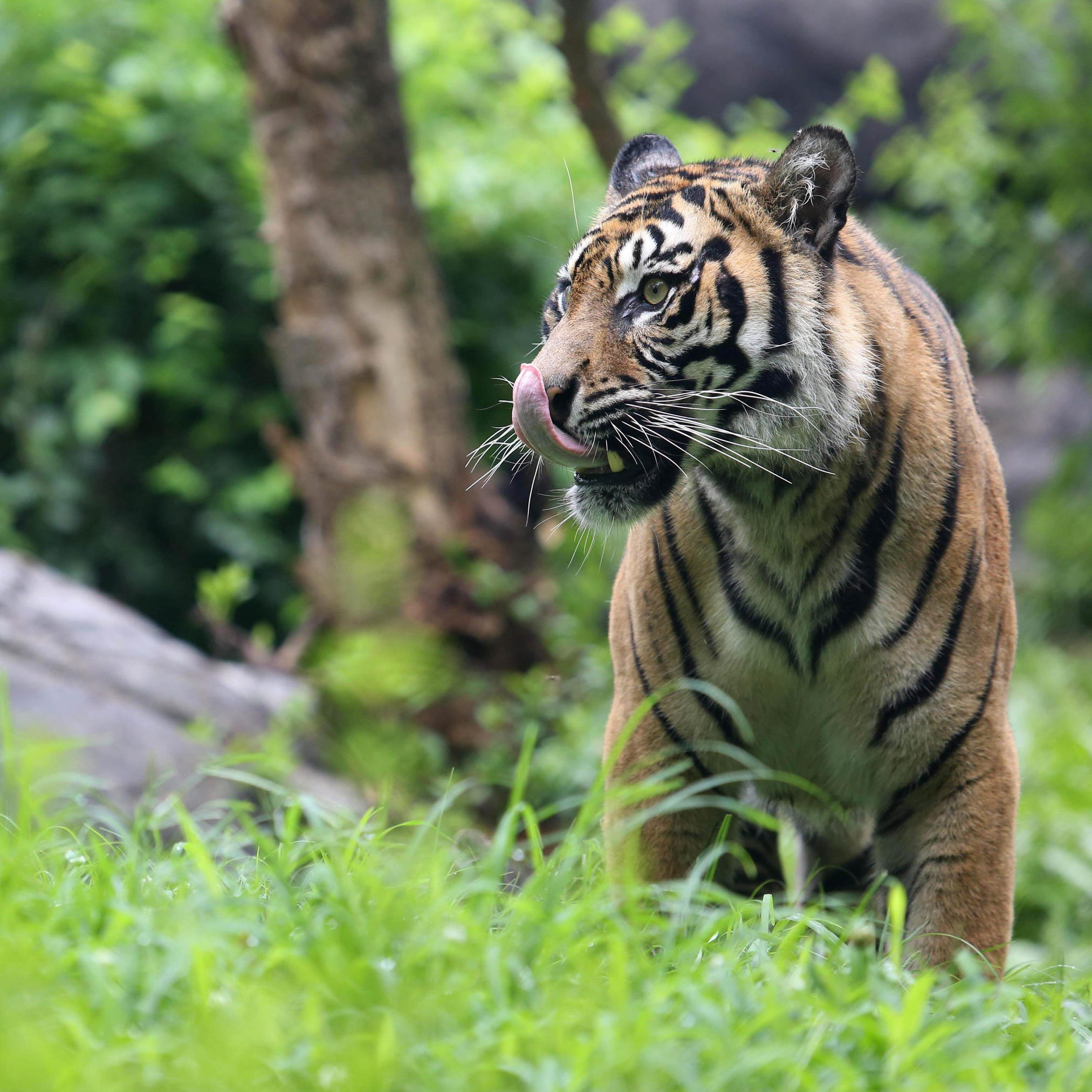 Sumatran tiger exhibit is open at Nashville Zoo