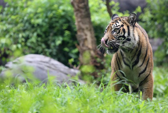 Two female Sumatran tigers that were born at the Topeka Zoo now call the Nashville Zoo home.