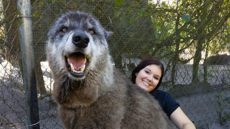 Game of Thrones' fans may like giant wolfdog named Yuki