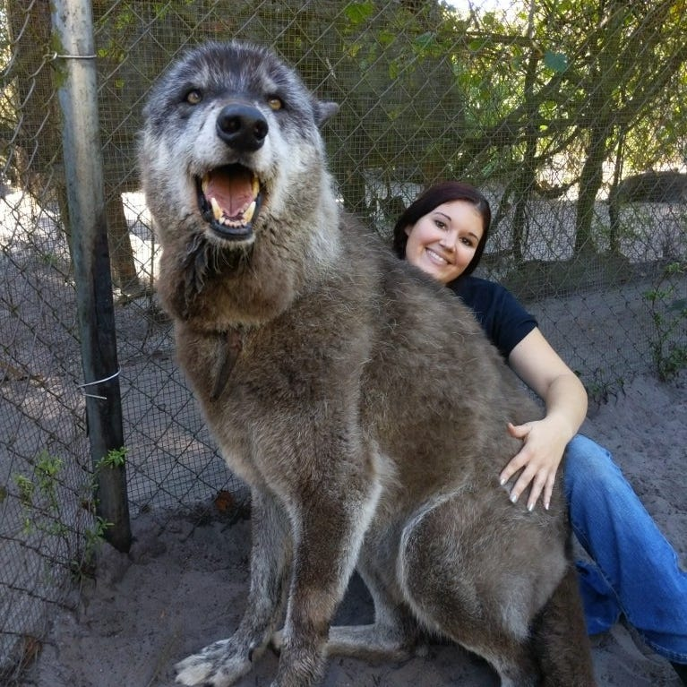 Giant wolfdog at Florida sanctuary is basically a 'Game of Thrones' direwolf