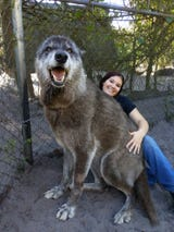 Yuki the wolfdog has been a resident at Shy Wolf Sanctuary for 10 years, but he recently went viral thanks to an incredible photo.