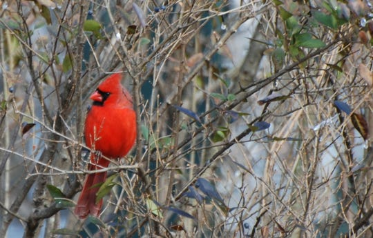 Male cardinals stand out almost anywhere.
