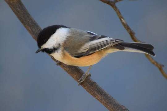 The black-capped chickadee is one of the first birds to show up at a feeder.