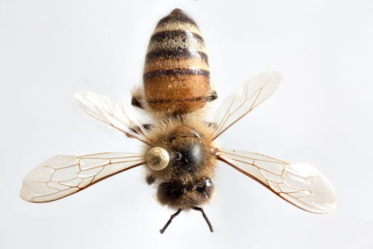 New Mexico State University anthropology master's student Rachel Cover spent 10 months macro photographing insects to give people a closer look at them including the honey bee.