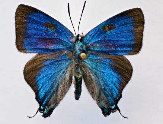 "New Mexico State University anthropology master's student Rachel Cover spent 10 months macro photographing insects to give people a closer look at them including the great blue hairstreak butterfly. She will be showcasing 21 macro photos that will measure about 45 by 42 inches during her exhibition at the University Museum in Kent Hall, ""Entomomania: Insects in Art and Culture."""