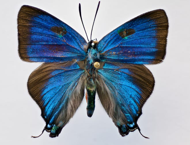 """New Mexico State University anthropology master's student Rachel Cover spent 10 months macro photographing insects to give people a closer look at them including the great blue hairstreak butterfly. She will be showcasing 21 macro photos that will measure about 45 by 42 inches during her exhibition at the University Museum in Kent Hall, """"Entomomania: Insects in Art and Culture."""""""