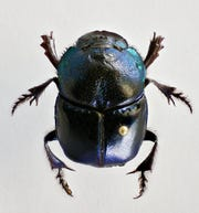New Mexico State University anthropology master's student Rachel Cover spent 10 months macro photographing insects to give people a closer look at them including the rainbow scarab beetle. Cover's exhibit will be on display in the University Museum until early September.