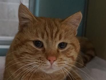 Tigger is a 3-year-old orange tabby looking for a home. He is sweet and cuddly and is ready to go home with you today. His adoption fee is $50, stop by and ask to meet Tigger.  The Farmington Animal Shelter is located at 133 Browning Parkway and can be reached at 505-599-1098. Check Petfinder.com for an up-to-date list of pets up for adoption.