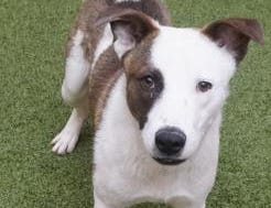Tucker is a 10-month-old mixed breed looking for a new home! He is playful and full of energy. He does great with other dogs and would like to be a part of a family so stop in and meet Tucker today.  The Farmington Animal Shelter is located at 133 Browning Parkway and can be reached at 505-599-1098. Check Petfinder.com for an up-to-date list of pets up for adoption.