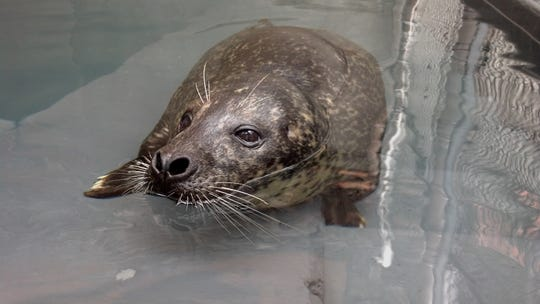 Luke, who is a 35-year-old harbor seal, can be seen at the National Zoo's American Trail exhibit.