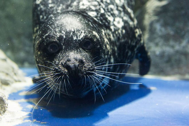 Rabbit, a 11-year-old harbor seal, is now on loan to the Smithsonian National Zoo where he will serve as a companion animal to one of the zoo's older seals, Luke.