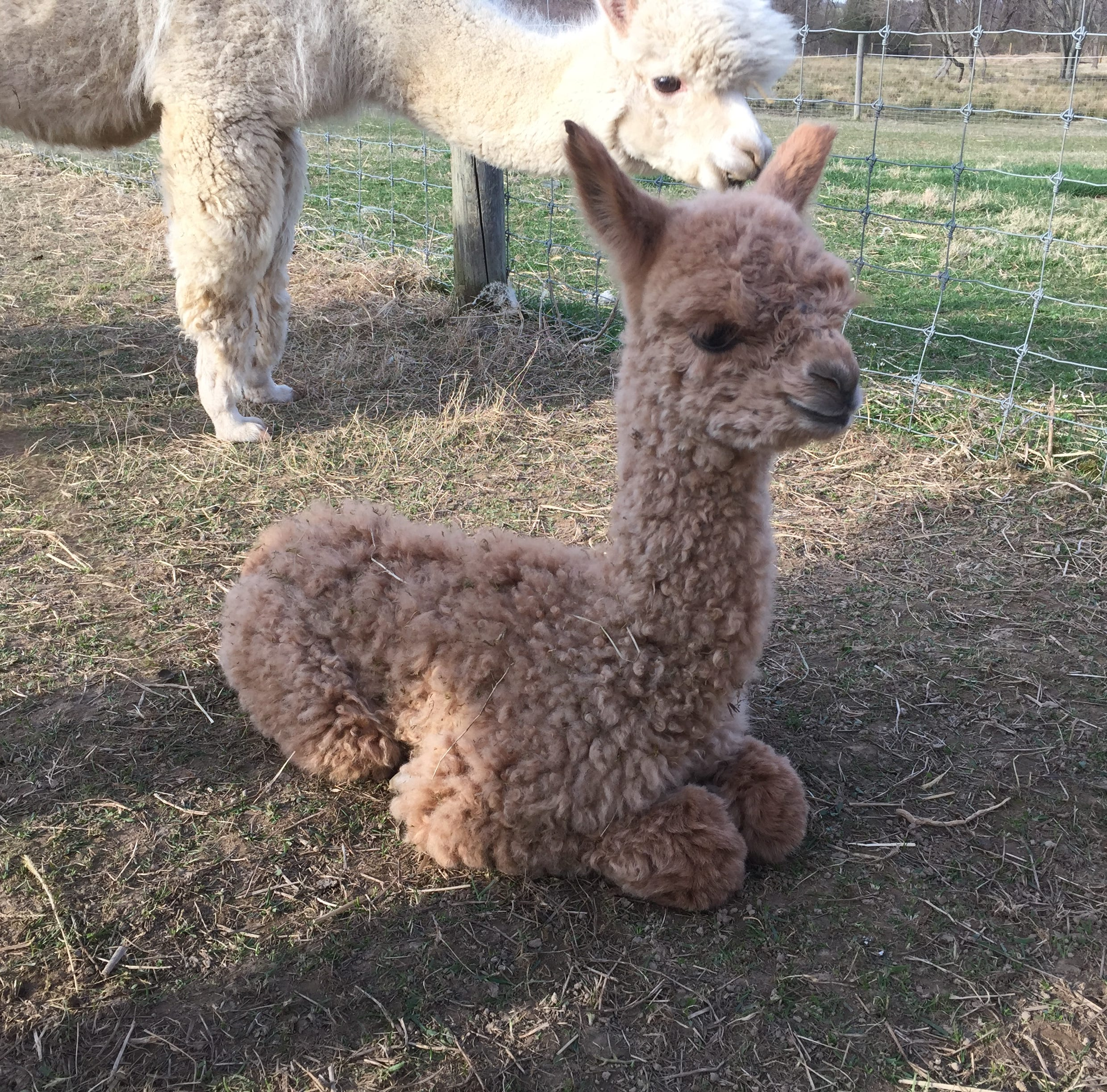 Fuzzy, adorable baby alpaca brings joy to farm days after 4 alpacas killed in dog attack