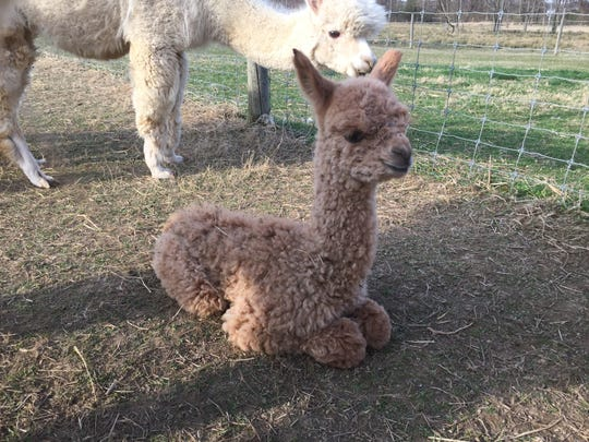 A baby alpaca was born at Painted Spring farm in Jackson township six days after a dog attack there left four alpacas dead.