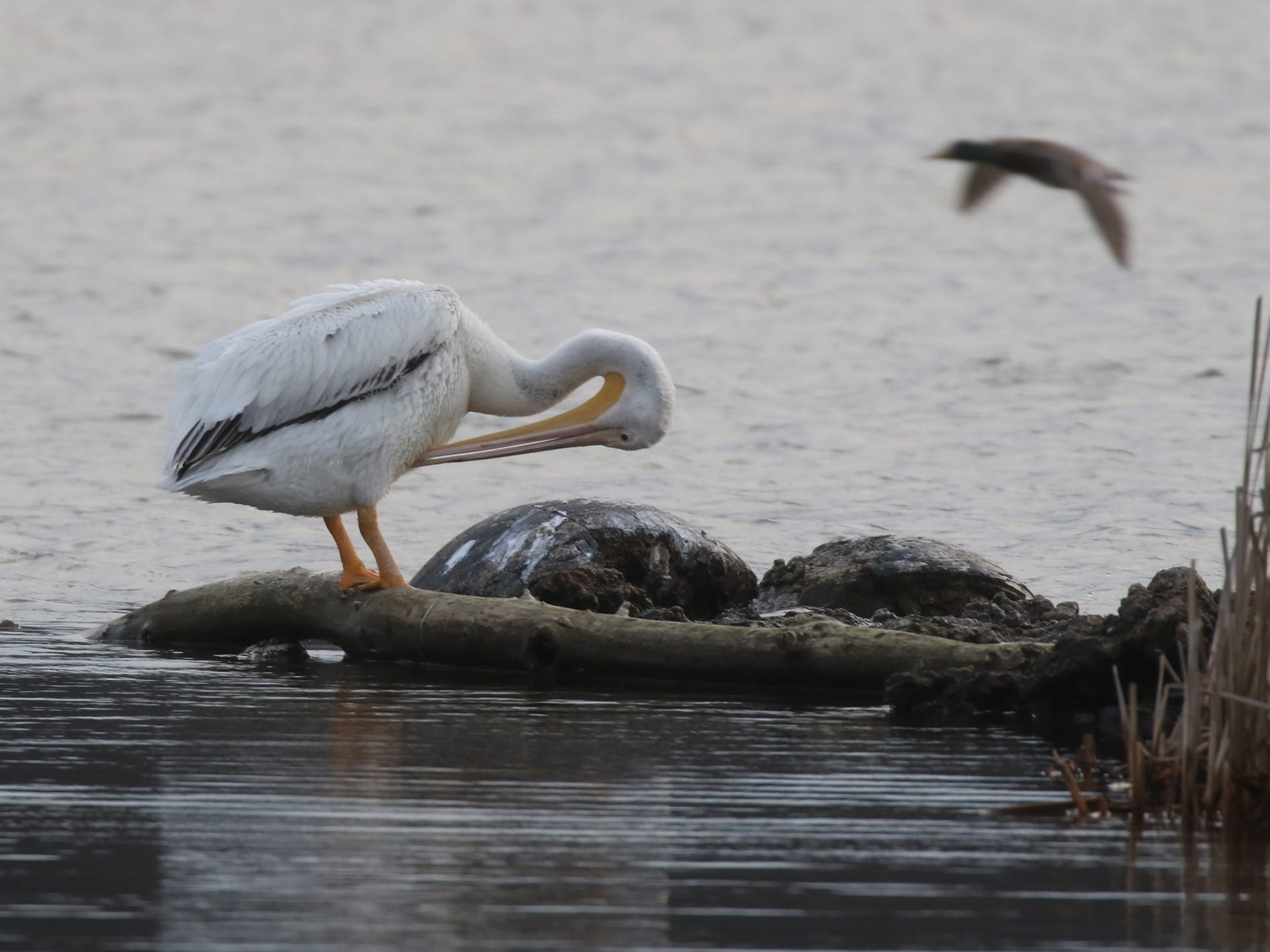 The  American White Pelican are mostly migratory.