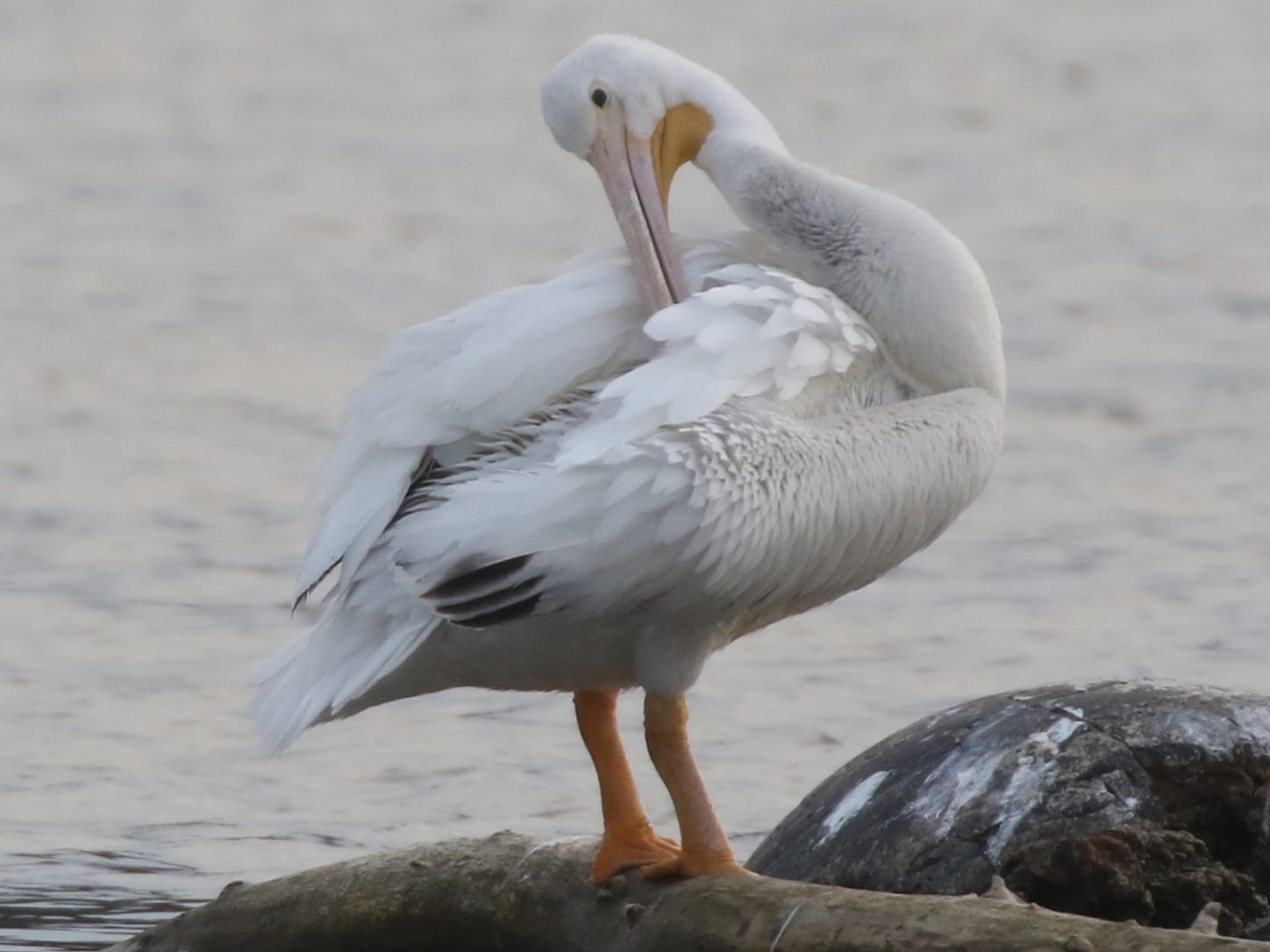 The  American White Pelican aren't normally seen in this area.