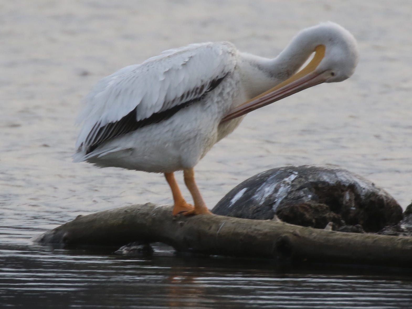 The  American White Pelican are mostly silent.  They can grunt or croak on nesting grounds.