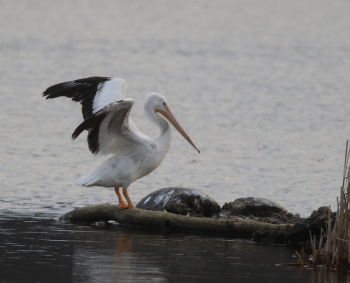 The American White Pelican's habitat is far inland near lakes and marshes, salt bays.