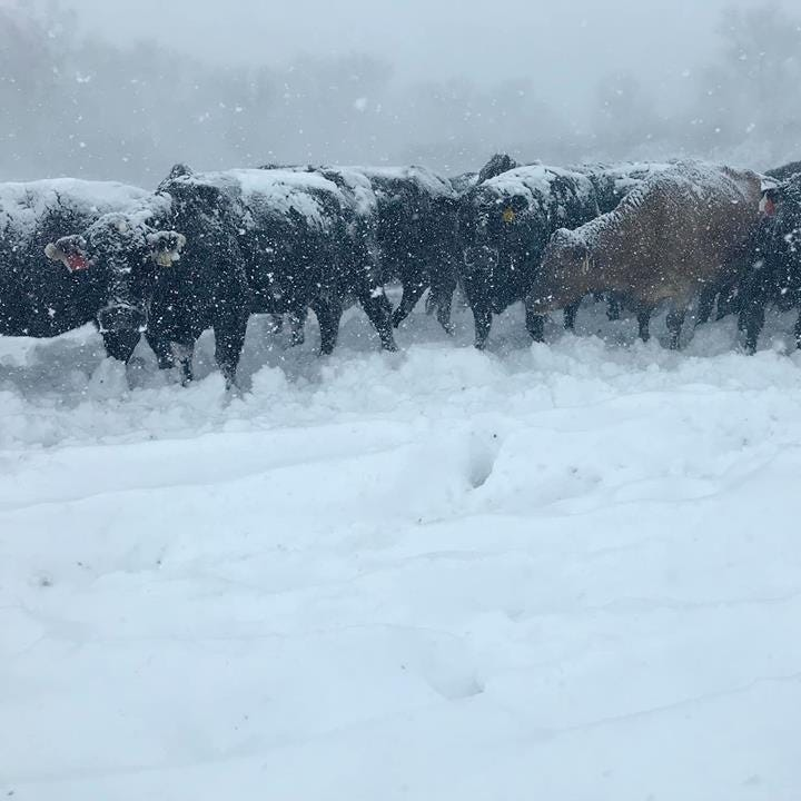 Thousands of South Dakota ranchers hurt by spring snowstorm