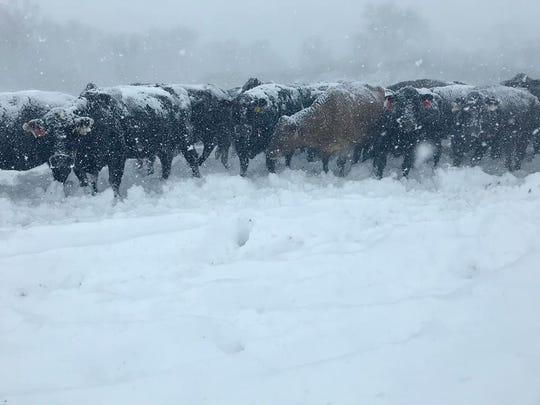 Cattle huddle together during Winter Storm Wesley in Highmore Thursday, April 11. Central South Dakota got nearly 20 feet of snow during the blizzard.