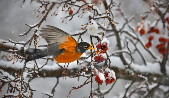 A robin grabs a snack as heavy snow coats trees and turns the background white Friday morning on the campus of St. Cloud State University. For more coverage on Central Minnesota's three-day April storm, turn to page 3A.
