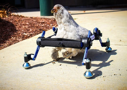 """A pet chicken named Granite Heart, photographed here testing out a custom wheelchair, was the butt of a joke on a recent episode of """"Saturday Night Live."""""""