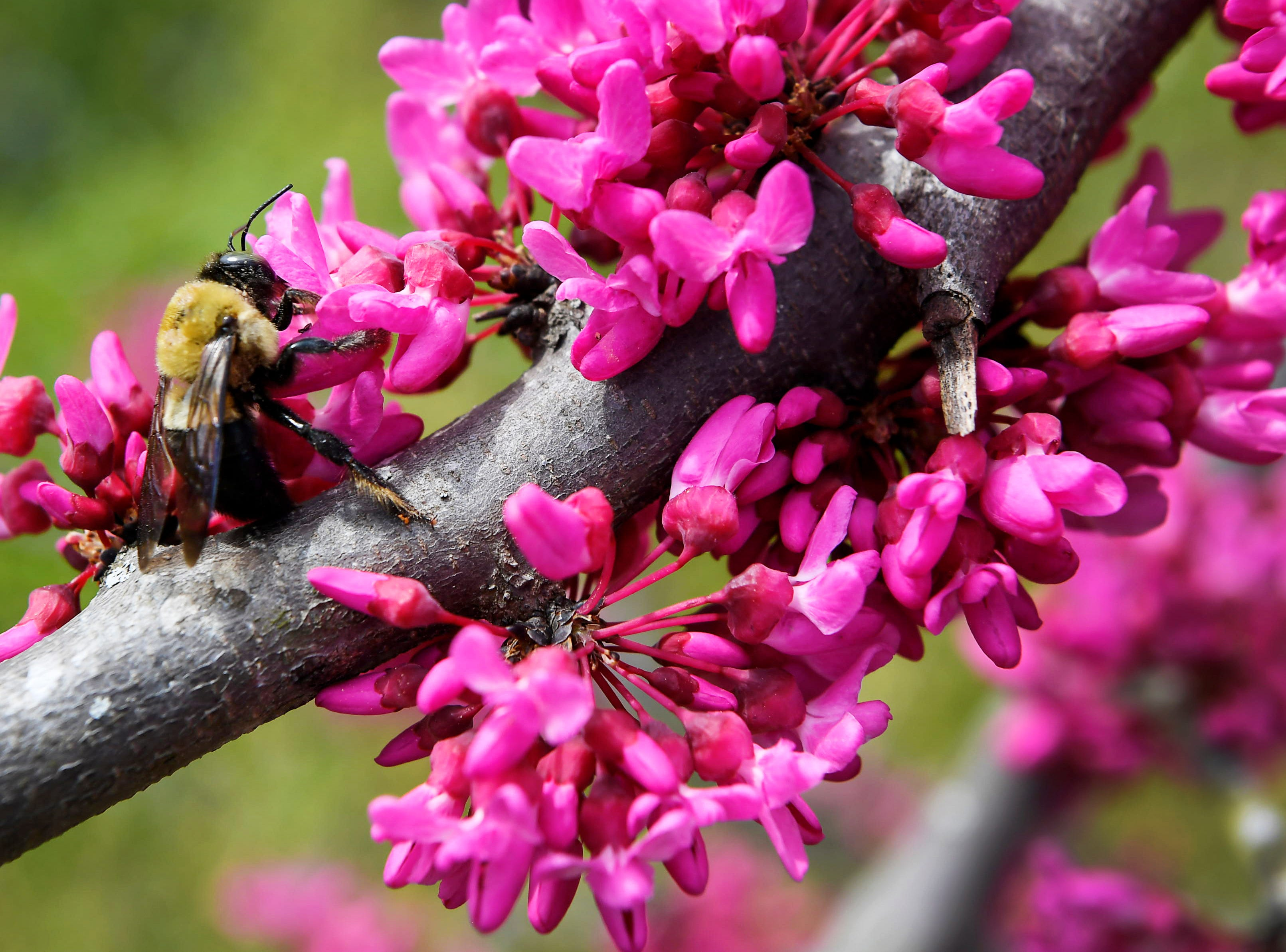 A bee collects pollen from a showy redbud tree at the Oconaluftee Visitor Center at Great Smoky Mountain National Park April 11, 2019.