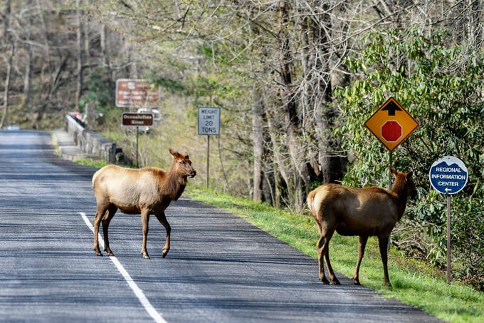Elk cross the road near the Oconaluftee Visitor Center at Great Smoky Mountain National Park April 11, 2019.