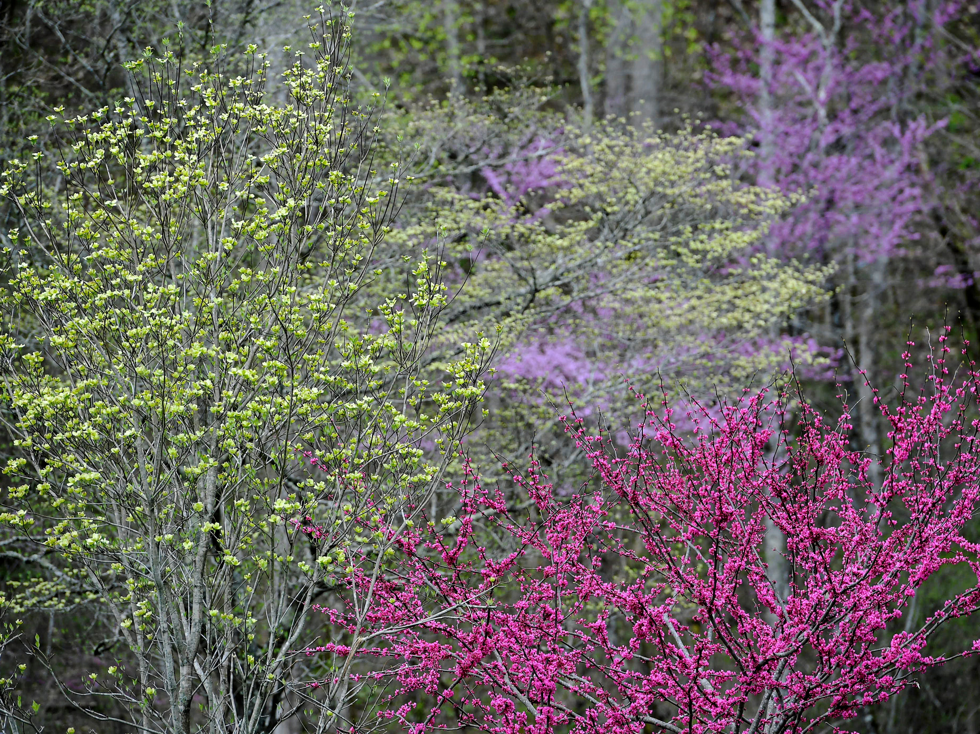 Trees bloom at the Oconaluftee Visitor Center at Great Smoky Mountain National Park April 11, 2019.